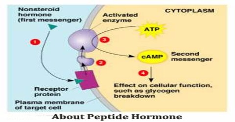 About Peptide Hormone